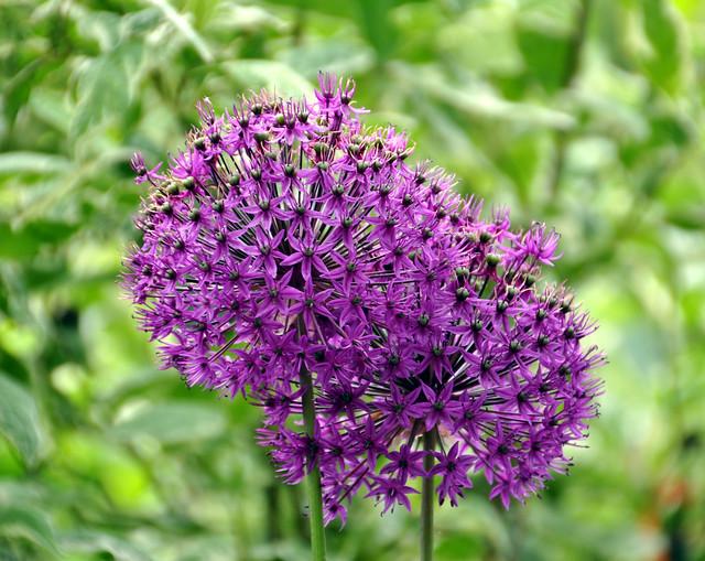 allium aflatunense 39 purple sensation 39 magnificent by jaythegardener flickr photo sharing. Black Bedroom Furniture Sets. Home Design Ideas