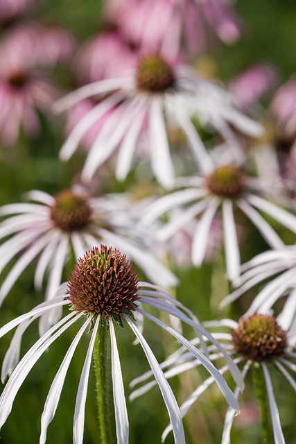Coneflowers in Olbrich Garden