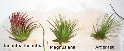 airplants 002