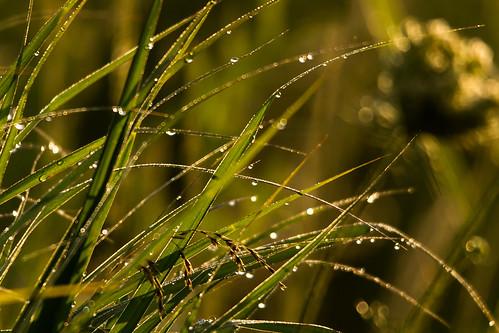 water grass nikon dew delaware smyrna sigma150500 d3100 outdoorsdelmarva