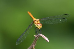 Vagrant Darter Dragonfly,Montenegro. by davidearlgray
