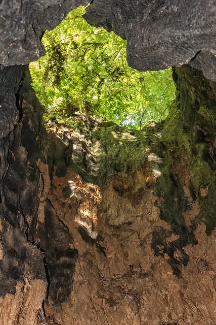 Through a Redwood