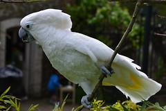 sulphur crested cockatoo(0.0), parakeet(0.0), wildlife(0.0), cockatoo(1.0), animal(1.0), wing(1.0), pet(1.0), nature(1.0), green(1.0), fauna(1.0), beak(1.0), bird(1.0),