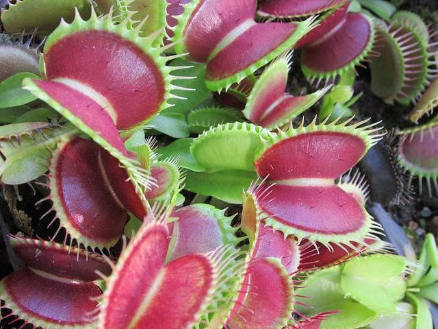 Dionaea definition meaning for Plantas ornamentales de interior