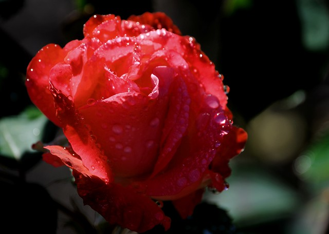 Rain drops on red flower