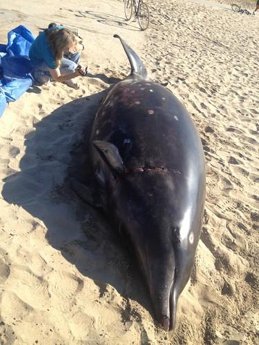Beached Whale Venice Beach 10-16-13