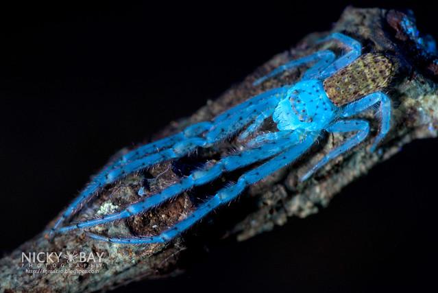 Crab Spider (Tmarus sp.) - DSC_7636