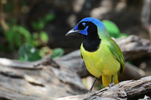 RGVBF: Green Jay in all Its Colors