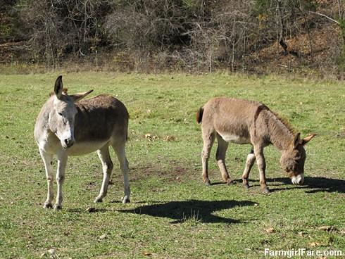 Rolling donkeys (2) - FarmgirlFare.com