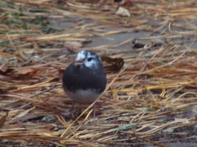 Leucistic Dark-eyed Junco1 12:5:13