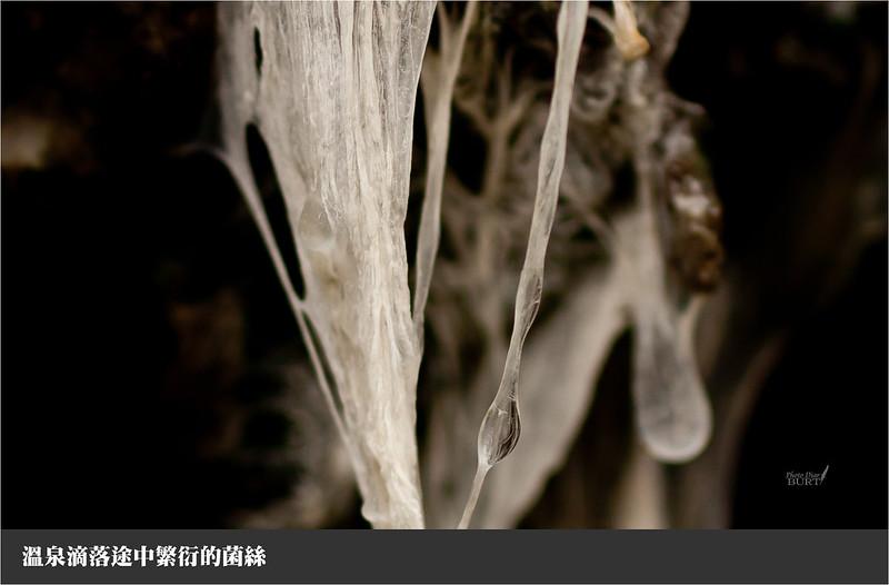 溫泉滴落途中繁衍的菌絲