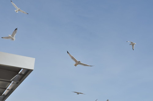 Ring-billed gulls, urban