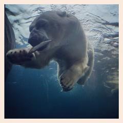 #polarbear #zoo #ifeelinlove #latergram #amazinganimal #breathtaking
