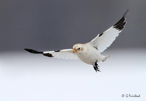 Snow Bunting In Flight