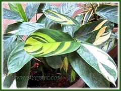 Newly acquired Marantha arundinacea 'Variegata', February 22 2014