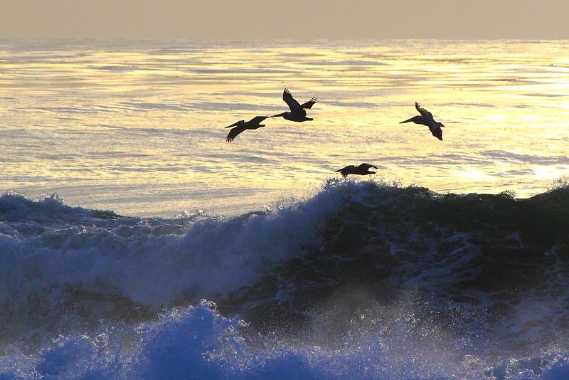 IMG_1697 California Brown Pelican at La Jolla