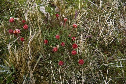 036 Planten bij Martial gletsjer