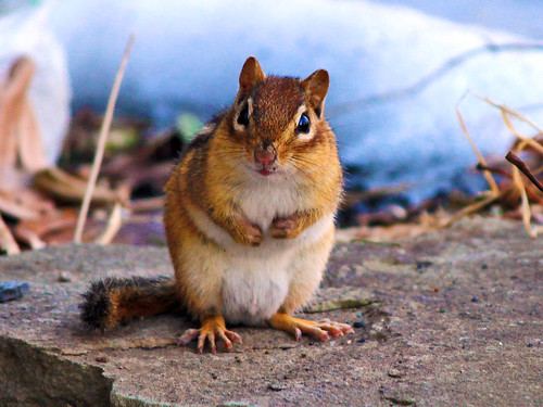 Cute Chipmunk!