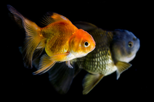 Gold fish black and white  on a black  background