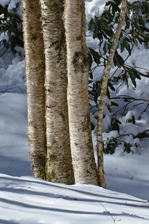 Yellow Birch in Snow
