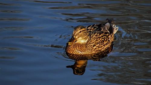 Ducktor Lakewings