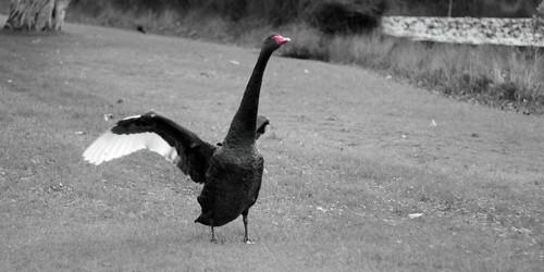 Goose thing at Centennial park