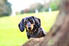 """Apple"" Dog Portrait Photography, Wrest Park 