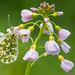 Oranjetipje - Orange tip - Anthocharis cardamines by wimzilver