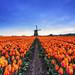 Tulips by Sauron84 [ www.mirkocostantini.it ]