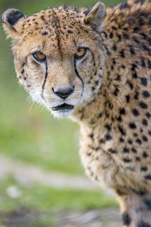 Cheetah looking irritated