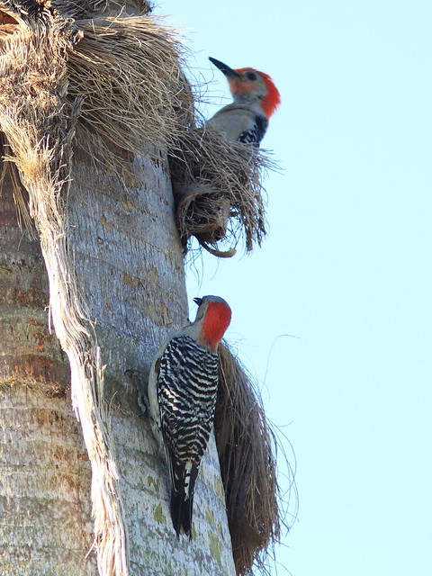 Red-bellied Woodpeckers pair 20140427