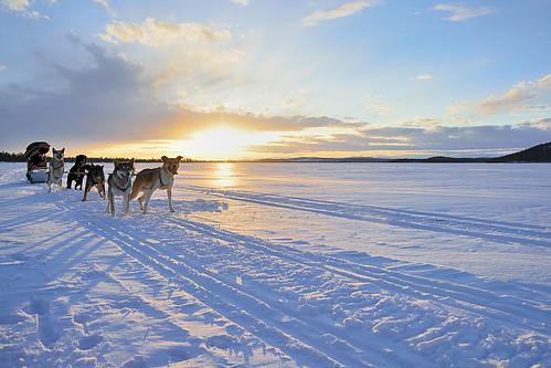winter dog snow nature finland circle inari north lapland sledding perros wilderness polar artic circulo finlandia artico laponia ivalo trineos mushig