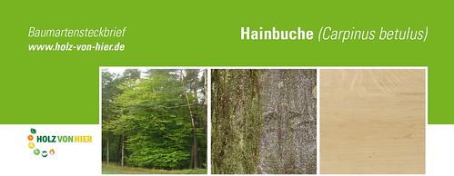 Hainbuche-Header