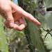Cactus spider - Argiope argentata por Thomas Roland