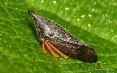 Treehopper, Calloconophora sp.