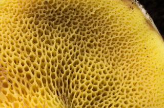 bolete mushroom