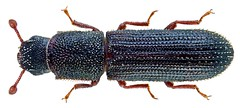 Asprotera squamifera (Grouvelle, 1902)
