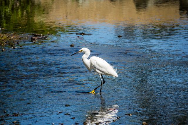 Snowy Egret In Los Gatos Creek #1