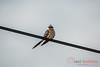 Cuco-rabilongo (Clamator glandarius), Great Spotted Cuckoo, Cuco Europeo