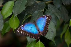 blue morpho butterfly at twycross