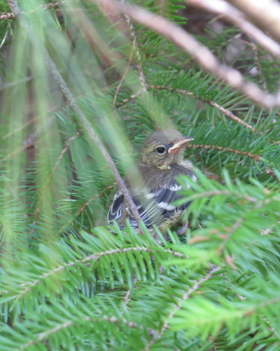 Black-throated Green Warbler fledgling (ID suggested by Mark Dennis and this makes sense as there were adults on the trail and it looks good for it with the wing bars and facial markings) June 21, 2016 Herbert River Trail