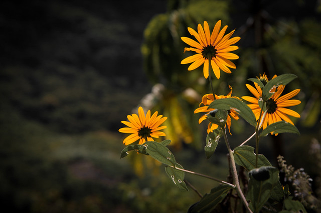 Yellow Asters