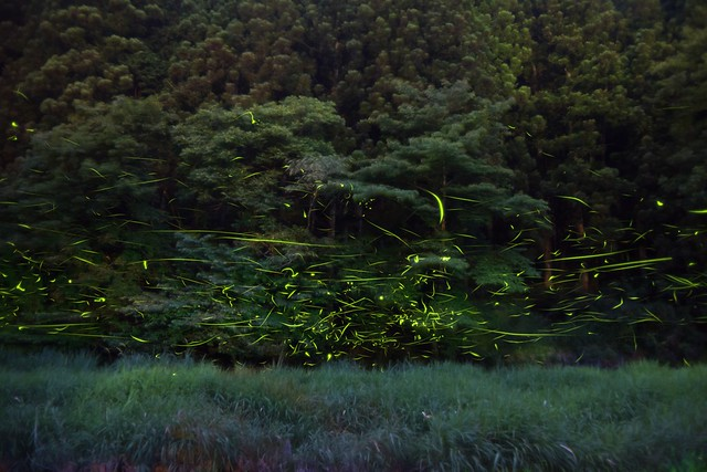 Photo:Fireflies 2016 #2 By kobaken++