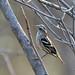Black-and-white Warbler, Bahia la Ventosa, Oaxaca, Mexico por Terathopius
