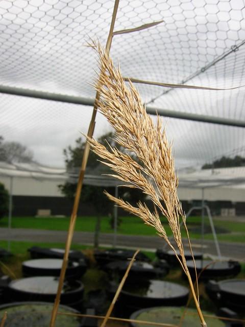 20020618_25niwaweeds | Seed head of Phragmites australis ...
