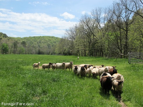 (25-10) Sheep in Donkeyland, which is currently our best looking field - FarmgirlFare.com