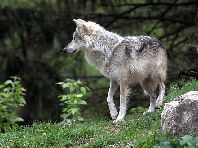 Wolf 2-20130510