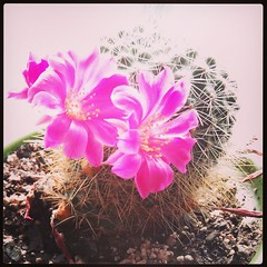 #cactus #blooms #window #arizona