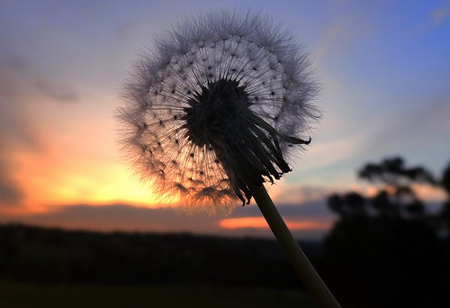 Sunset & dandelion seeds
