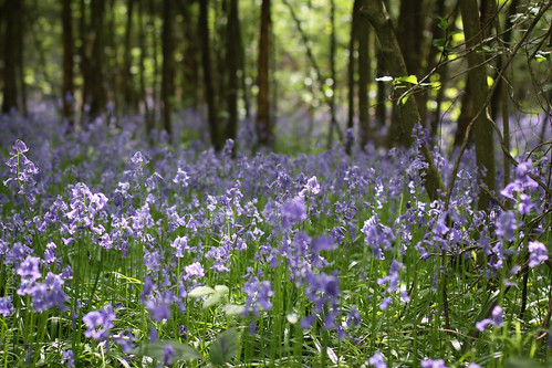 Bluebells at Sissinghurst by davidmeggers